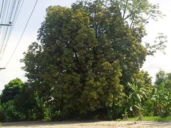 ต้นมะแฟน