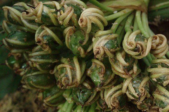 ผลผักตบไทย