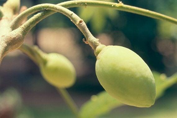 ผลมะกอกเกลื้อน