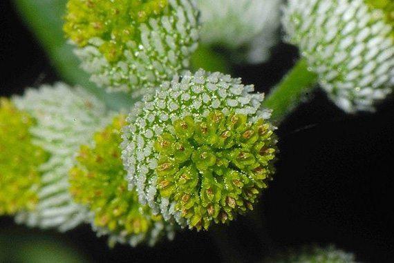 ดอกผักชีดอย