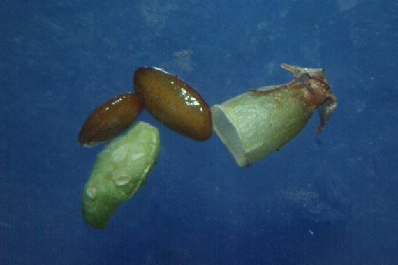 เมล็ดผักกาดน้ำเล็ก