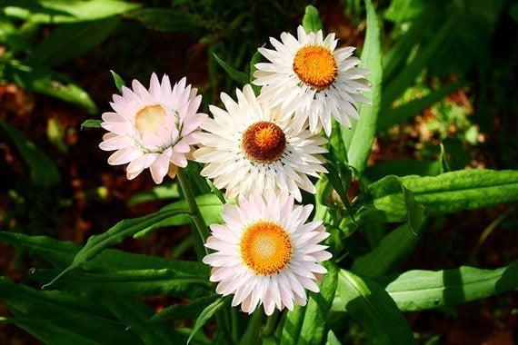 ดอกกระดาษสีขาว