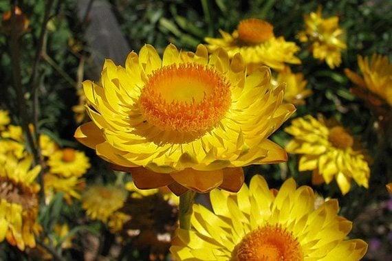 ดอกกระดาษสีเหลือง