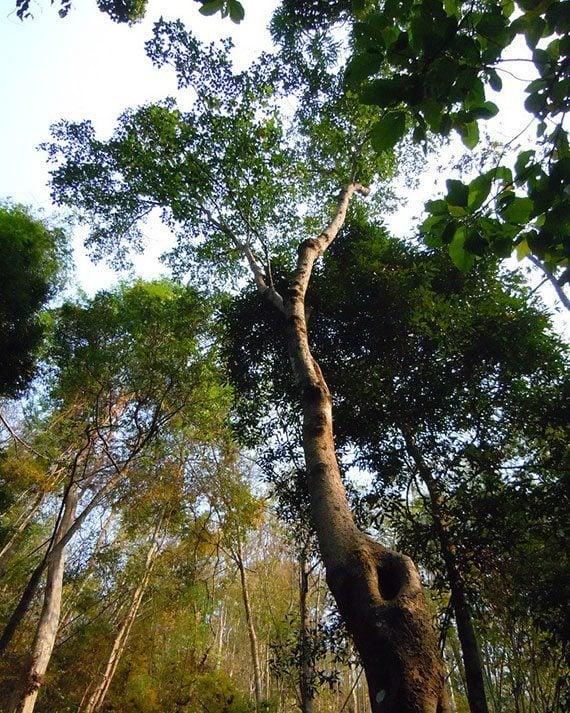 ต้นทองหลางป่า