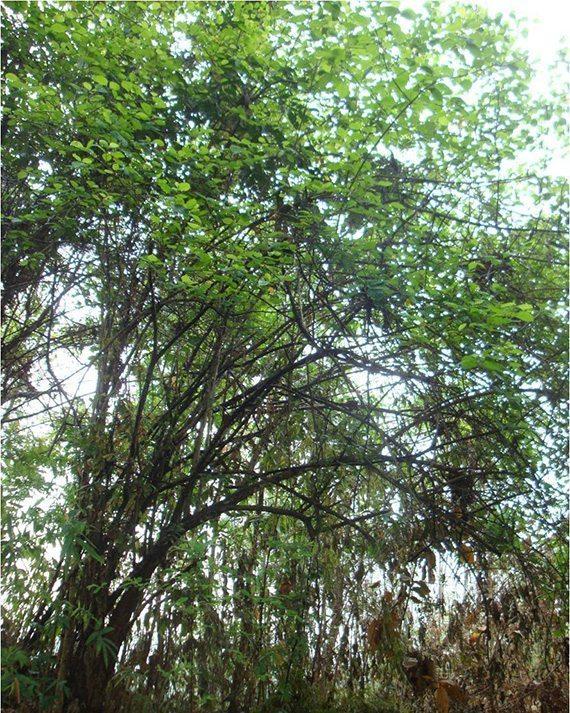 ต้นทองแมว