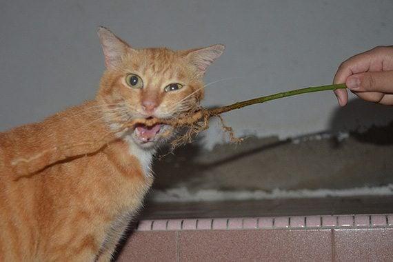 รากตำแยแมว