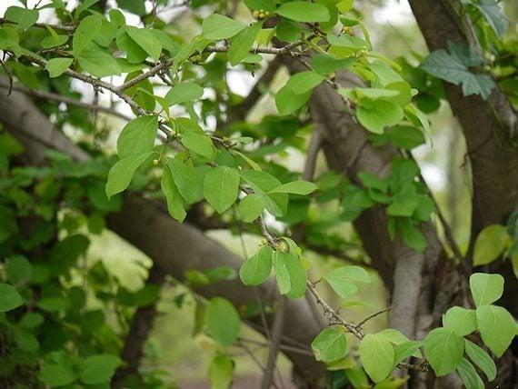 ใบตะขบป่า