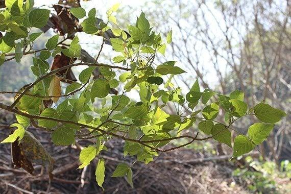 ใบทองหลางป่า