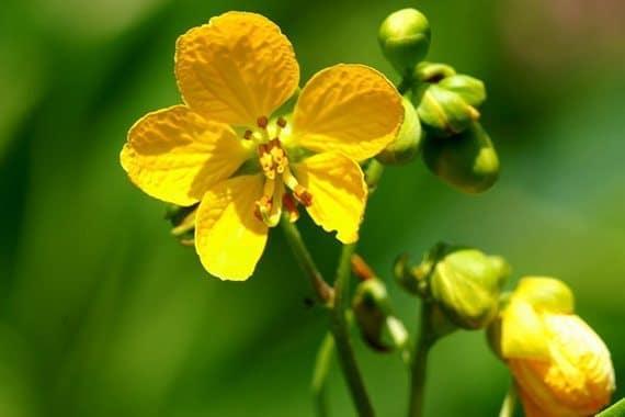 ดอกขี้เหล็กเทศ