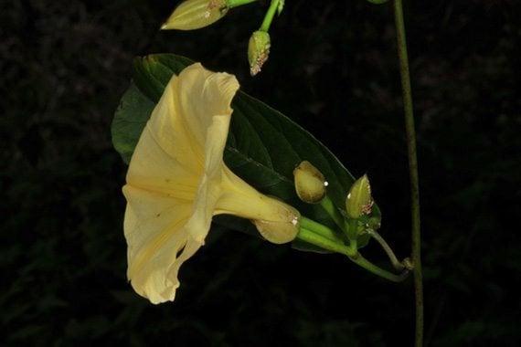 ดอกจิงจ้อเหลืองอ่อน