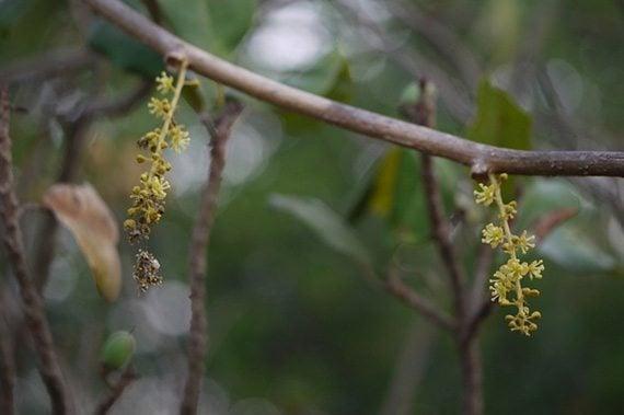 ดอกชิงช้าชาลี