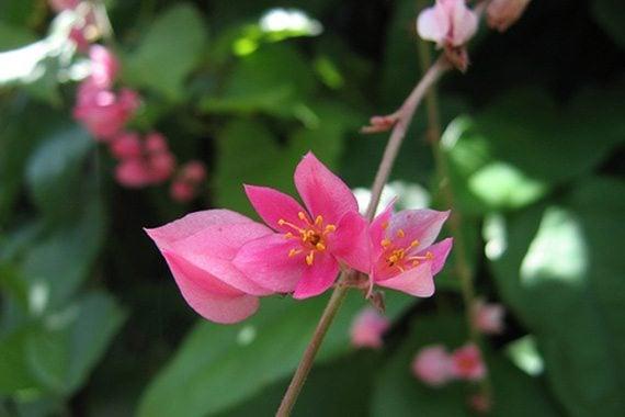 ดอกพวงชงพู