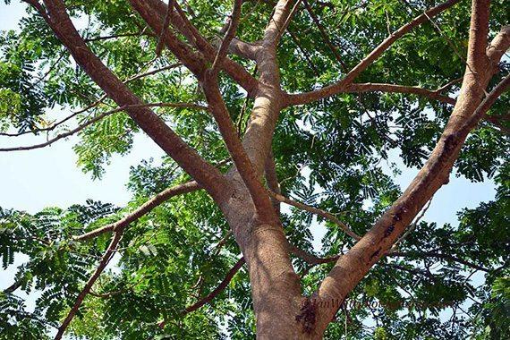 ต้นกางขี้มอด
