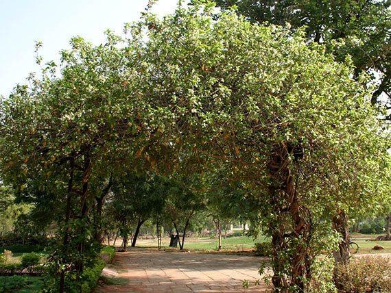 ต้นชำมะนาดป่า