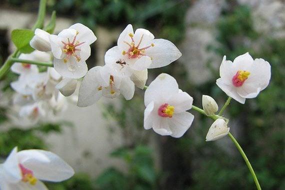 พวงชงพูดอกขาว