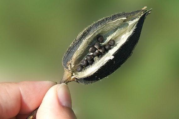 เมล็ดชะมดต้น