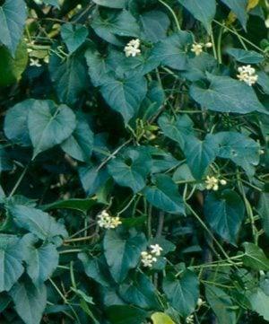 ต้นข้าวสารดอกเล็ก