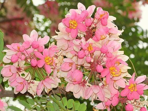 ดอกชัยพฤกษ์