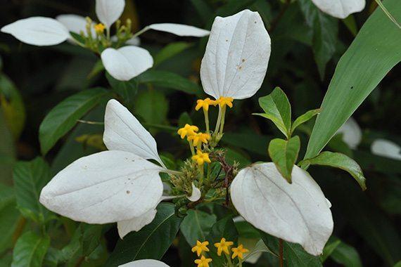 ดอกแก้มขาว