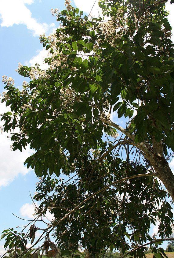 ต้นกะพวมมะพร้าว
