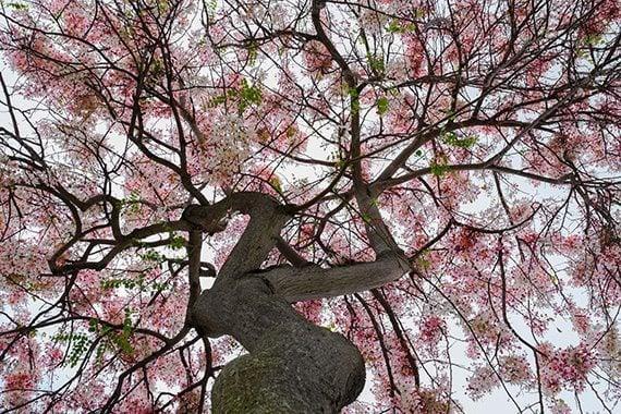 รูปต้นกัลปพฤกษ์