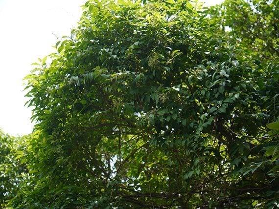 ต้นส้มกุ้ง