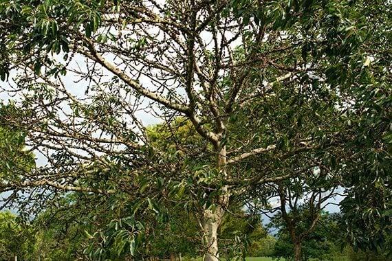 ต้นไกร