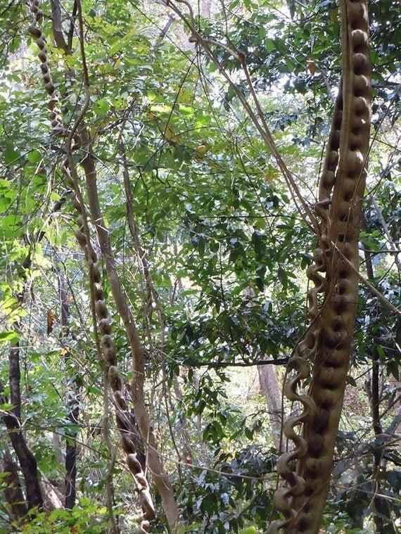 ต้นกระไดลิง