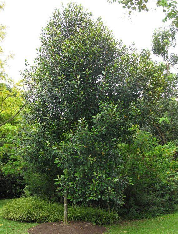 ต้นโกงกางบก