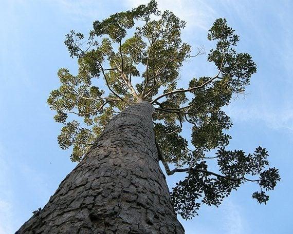 รูปต้นยางนา
